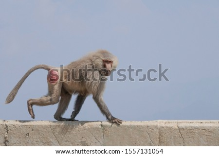 A male hamadryas baboon. The hamadryas baboon is the northernmost of all the baboons.