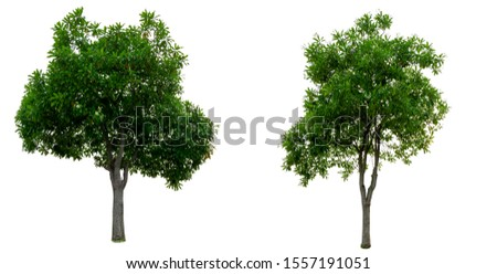 Tree isolated,Tree cutting on a white background. Tree editing The white background #1557191051