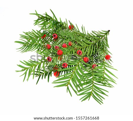 Taxus baccata known as yew, English yew or European yew. Isolated on white background. #1557261668