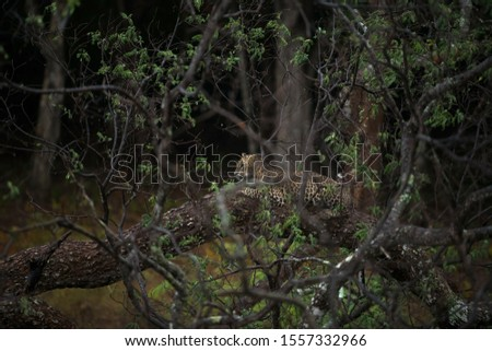 Leopard cub sitting on a fallen giant big tree on a rainy day with leaves surrounded in national park with lovely green background. Beautiful picture of safari image for advertisement posters.