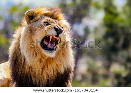 Roaring Male Lion with impressive Mane  Royalty-Free Stock Photo #1557343154