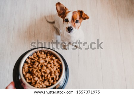 cute small jack russell dog at home waiting to eat his food in a bowl. Pets indoors #1557371975