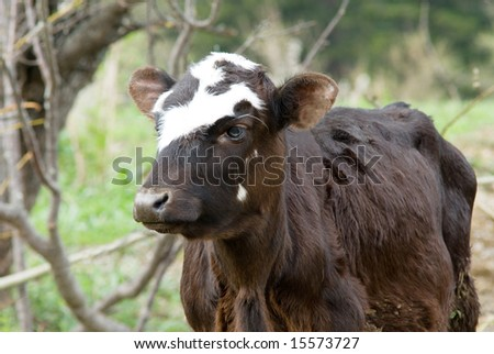cow on a pasture #15573727