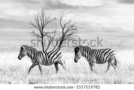 Artistic conversion of Zebra, Black and white, Photo art.