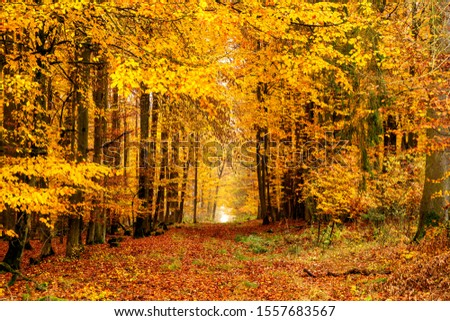 Beech forest in autumn in Germany