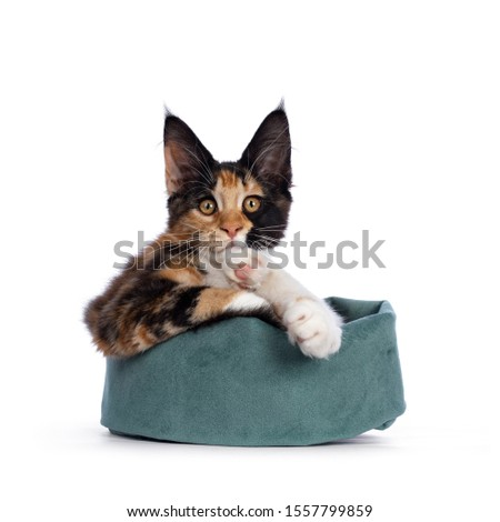 Remarkable patterned tortie Maine Coon cat kitten laying in velvet bag. Looking at camera with golden orange eyes. Isolated on white background. Origami legs. #1557799859