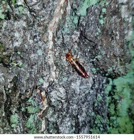 Common earwig (Forficula auricularia) on the tree bark, Poland