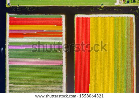 Aerial drone shot view of Tulips Field near Keukenhof in Netherlands