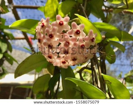 Hoya carnosa, the porcelainflower or wax plant, is a common house plant grown for its attractive waxy foliage, and sweetly scented flowers. Selective focus, blurred background with copy space. #1558075079