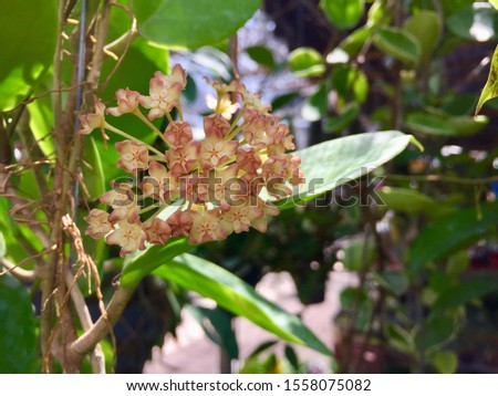 Hoya carnosa, the porcelainflower or wax plant, is a common house plant grown for its attractive waxy foliage, and sweetly scented flowers. Selective focus, blurred background with copy space. #1558075082