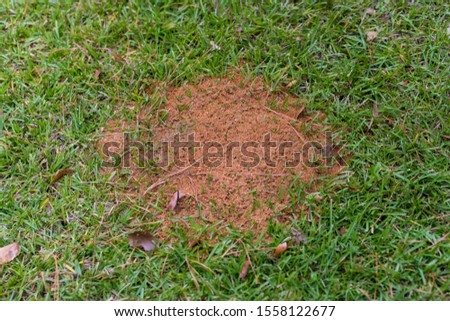 large fire ant mound in green grass with copy space