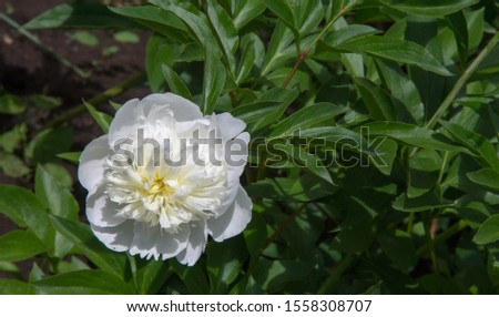 peonies a herbaceous or shrubby plant of north temperate regions, which has long been cultivated for its showy flowers. #1558308707