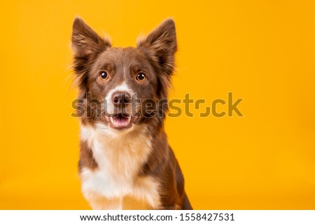 Beautiful happy red and white border collie on bright vibrant yellow background #1558427531