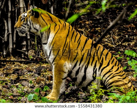 Calm Tigress waiting for the prey at Van Vihar National Park, Bhopal, MP IND #1558431380