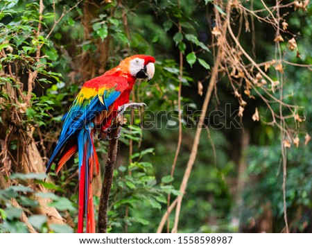 The scarlet macaw is regarded by many as the most beautiful member of the parrot family. İt is certainly the most colorful, with its large solid swatches of red, blue, and yellow.  #1558598987