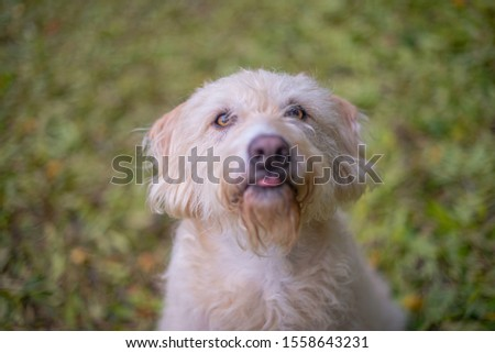 Cute dog with tongue out during walk in the autumn leaves. #1558643231