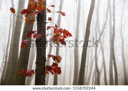 Red oak leaves on oak with tree trunks in fog on background. #1558702244