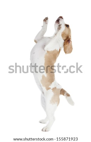 dancing dog beagle on a white background in studio #155871923