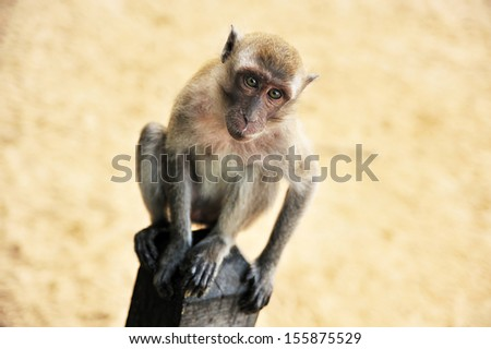 Portrait of young rhesus macaque monkey #155875529