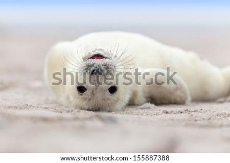 Baby Grey Seal (Halichoerus grypus) Relaxing headlong on the Beach