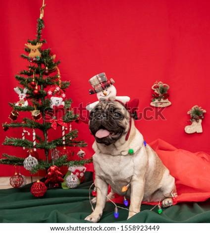 Christmas pet photography with pug dog.