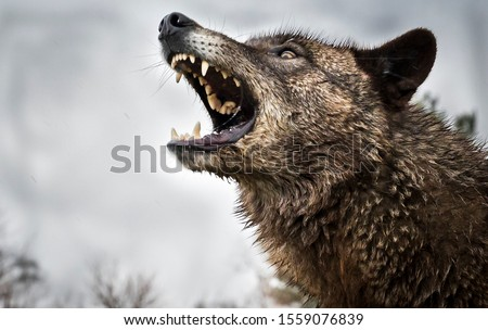 Wolf Growling and Fighting and Two Wolves Fighting #1559076839