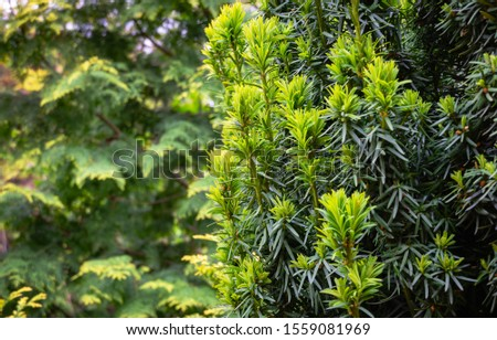 New bright green with yellow stripes foliage on yew Taxus baccata Fastigiata Aurea (English yew, European yew) in spring garden on blurred greenery background.Selective focus.Nature concept for design #1559081969
