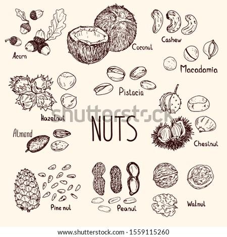 Sketch style drawn coconut, walnut, acorn, cashew, hazelnut, almond, macadamia, chestnut, pine nut, peanut and pistachio. Vector illustration. Nuts set with the names. #1559115260