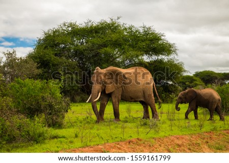 African elephant with elephant baby in the wild in the savannah in africa.  #1559161799