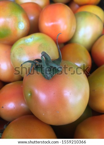 fresh freshly harvested tomatoes are ready for sale #1559210366