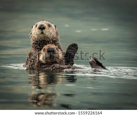 Sea Otters in Kodiak Alaska