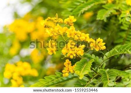 Yellow flower of rainforest cassia (Cassia surattensis Burm.) is a genus of flowering plants in the legume family, Fabaceae, and the subfamily Caesalpinioideae.  #1559253446