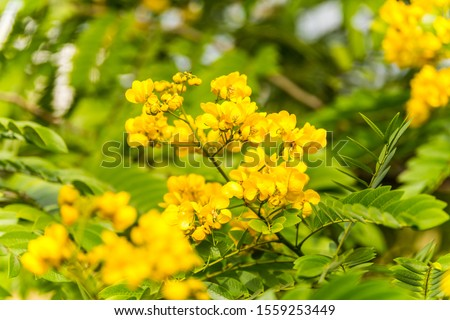 Yellow flower of rainforest cassia (Cassia surattensis Burm.) is a genus of flowering plants in the legume family, Fabaceae, and the subfamily Caesalpinioideae.  #1559253449