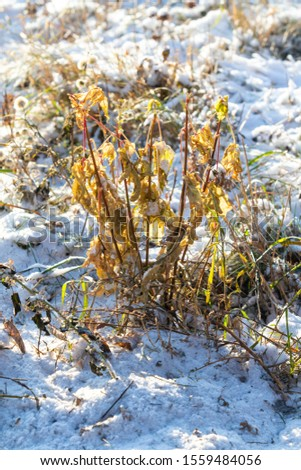 Dry grass from under the snow, landscape of nature. #1559484056