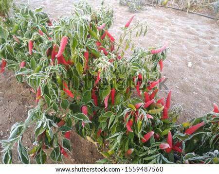 Frozen pepper. Yellow pepper, red pepper, garden pepper, #1559487560