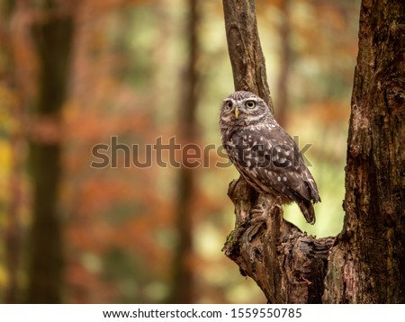 Little owl (Athene noctua) sitting on dry branch. Autumn forest in background. Little owl portrait. Owl sitting on branch. Owl on tree.