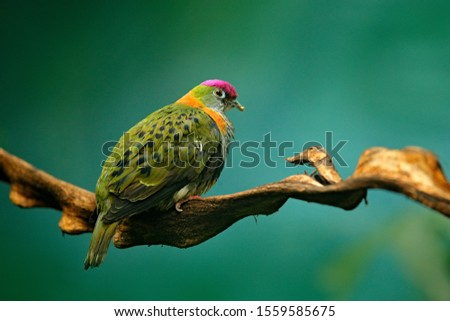Eastern Superb Fruit dove, Ptilinopus superbus, bird in the nature habitat, forest in New Guinea and Australia. Dove in the habitat, pink cape on the head. Birdwatching in Asia. Wildlife nature. #1559585675
