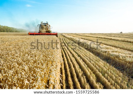 Combine harvester harvests ripe wheat. Ripe ears of gold field on the sunset cloudy orange sky background. . Concept of a rich harvest. Agriculture image. #1559725586