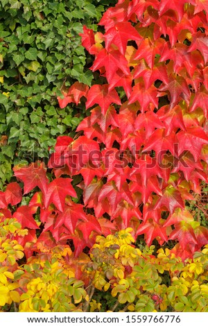 Boston ivy (Parthenocissus tricuspidata), ivy and dog roses, Lower Saxony, Germany #1559766776