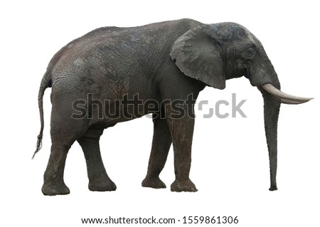 African Elephant with its tusks and big ears cut out on white background #1559861306