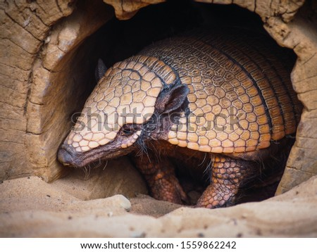 Portrait of a hairy armadillo coming out of his cave