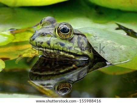 An American Bullfrog. Photo taken in Southern California, USA. #155988416