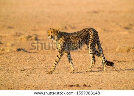 Cheetah (Acinonyx jubatus), Kgalagadi Transfrontier Park, Kalahari desert, South Africa.