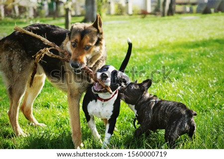 Three friendly happy playing dogs in summer park. German shepherd, american staffordshire terrier and french bulldog holding one stick. Different dog breeds have fun together. Royalty-Free Stock Photo #1560000719