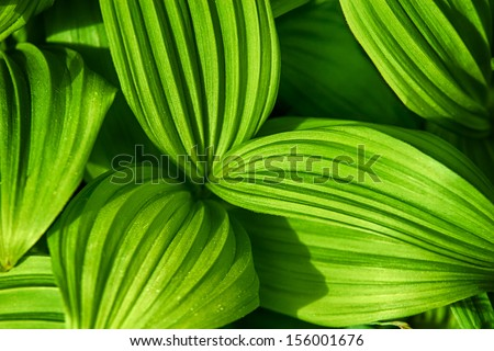 The beautiful patterns of the False Hellebore plant leaves #156001676