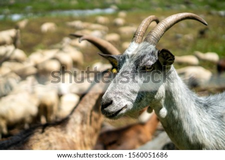 A awesome goat with big horns in herd #1560051686