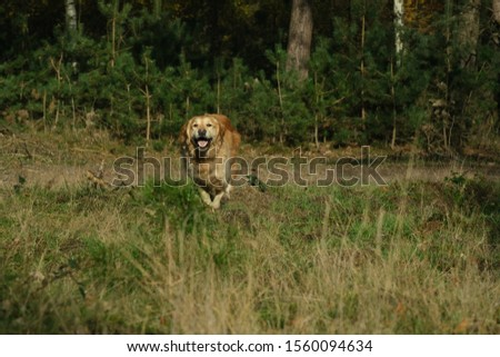 Dog, golden retriever runs and jumps happy playfull towards the camera position of owner  #1560094634