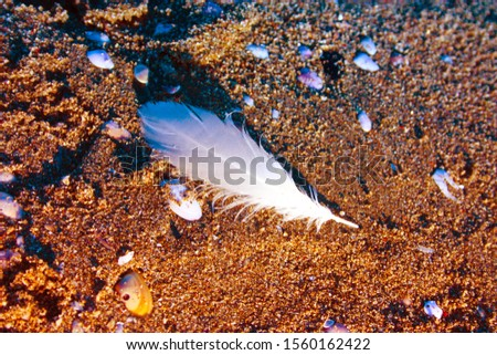 white feather, delicate, of a feathered bird, dropped on the sandy brown beach in Versilia, Tuscany #1560162422