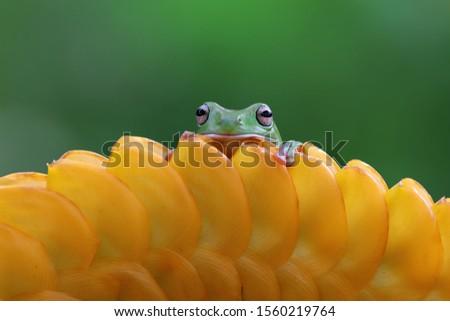 Australian white tree frog on leaves, dumpy frog on branch, animal closeup, amphibian closeup #1560219764