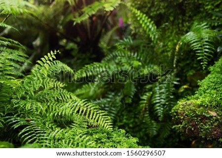 Beautiful Bright Fern and moss grown up cover the rough stones and on the floor. Show with macro view. Invigorating green in the evergreen forest texture in nature. soft focus. #1560296507